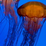 box_jellyfish
